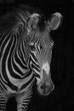 Mono конец-вверх зебры Grevy смотря на справедливо Стоковая Фотография RF