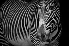 Mono конец-вверх зебры Grevy с повернутой головой Стоковое Фото