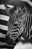 Mono конец-вверх младенца зебры Grevy около матери Стоковые Изображения