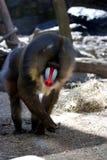Mono adulto maduro del mandril que camina en todo el Fours Imagen de archivo libre de regalías