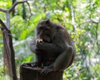 Mono adulto que se sienta en el registro que come maíz foto de archivo libre de regalías