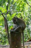 Mono adulto que se sienta en el registro que come ma?z imagenes de archivo