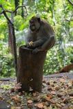 Mono adulto que se sienta en el registro que come ma?z fotos de archivo