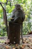 Mono adulto que se sienta en el registro que come ma?z foto de archivo libre de regalías