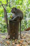 Mono adulto que se sienta en el registro que come ma?z imagen de archivo libre de regalías