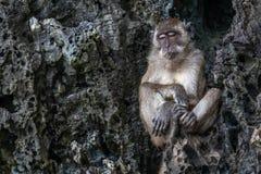 Mono agujereado soñoliento en una roca fotos de archivo libres de regalías