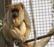 Mono aprensivo en el parque zoológico Fotografía de archivo libre de regalías