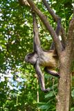 Mono Arana Spider Monkey in Riviera Maya. Of Mexico Royalty Free Stock Photography
