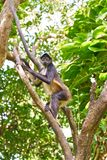 Mono Arana Spider Monkey in Riviera Maya. Of Mexico Royalty Free Stock Photos