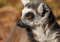 Mono atado anillo del lemur Imagen de archivo libre de regalías