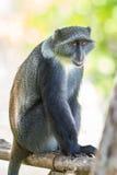 Mono azul imagenes de archivo