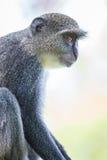 Mono azul imagen de archivo libre de regalías
