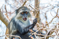 Mono azul fotos de archivo
