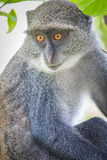 Mono azul fotos de archivo libres de regalías