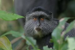 Mono azul foto de archivo