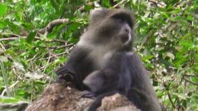 Mono azul en Arusha NP almacen de video