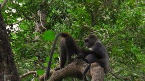 Mono azul en Arusha NP almacen de metraje de vídeo