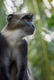 Mono azul - mitis del Cercopithecus, Kenia, África Imagen de archivo