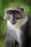 Mono azul - mitis del Cercopithecus, Kenia, África Imagenes de archivo