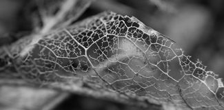 Mono bild av ett bladskelett Arkivfoto