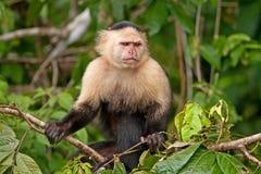 Mono blanco del capuchón de la cara Imagenes de archivo