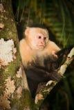 Mono blanco del capuchón de la cara. Fotografía de archivo