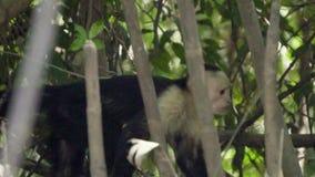 Mono blanco-hecho frente centroamericano increíble del capuchón que camina en bosque de la selva almacen de video