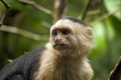 mono Blanco-hecho frente del capuchón que mira lejos Imagen de archivo