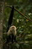 mono Blanco-hecho frente del capuchón que se sostiene sobre la rama Imagenes de archivo