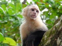 mono Blanco-hecho frente del capuchón Foto de archivo libre de regalías