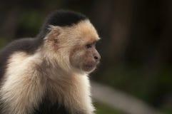 mono Blanco-hecho frente que se sienta en las hojas, Ometepe, Nicaragua del capuchón Foto de archivo