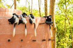mono blanco y negro del guereza del Colobus del colobus Imágenes de archivo libres de regalías