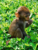 Mono chino Fotos de archivo
