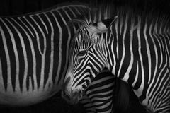 Mono close-up of Grevy zebra foal head Stock Images