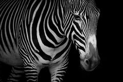 Mono close-up of Grevy zebra looking downwards Royalty Free Stock Photos