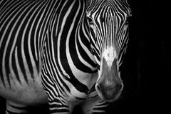 Mono close-up of Grevy zebra standing staring Stock Photos