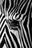 Mono close-up of Grevy zebra staring down Royalty Free Stock Photo
