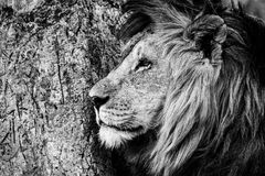 Mono close-up of male lion by tree. A male lion lies with its head next to an old tree on which lions and perhaps other big cats have sharpened their claws Stock Photo