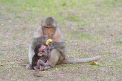 Mono comer-maíz Asia Tailandia Imagenes de archivo