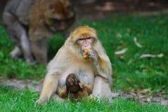 Mono con el cachorro Imágenes de archivo libres de regalías