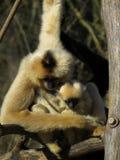 Mono con el descendiente Fotografía de archivo