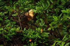 Mono con los jóvenes Mono negro ocultado en la rama de árbol en el capuchón de cabeza blanca del mono tropical oscuro del bosque, fotos de archivo libres de regalías