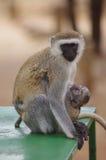 Mono con su bebé en África Fotografía de archivo libre de regalías