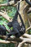 Mono con un bebé Imagen de archivo