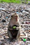 Mono con una corteza de la sandía Imagen de archivo libre de regalías