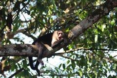 Mono Costa Rica del capuchón Fotografía de archivo