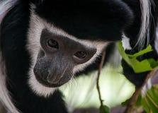 Mono curioso Fotos de archivo