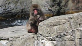 Mono de Antartican Fotografía de archivo