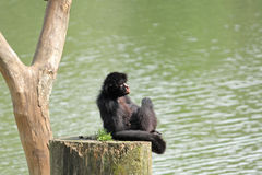Mono de araña imágenes de archivo libres de regalías