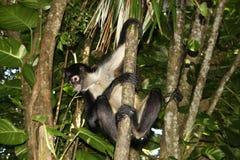 Mono de araña 2 Fotografía de archivo libre de regalías
